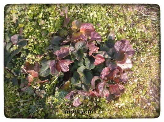 """και οι φραουλιές, άρχισαν κι αυτές την ετοιμασία για την καρποφορία, μετά την περίοδο """"χειμερίας νάρκης"""""""